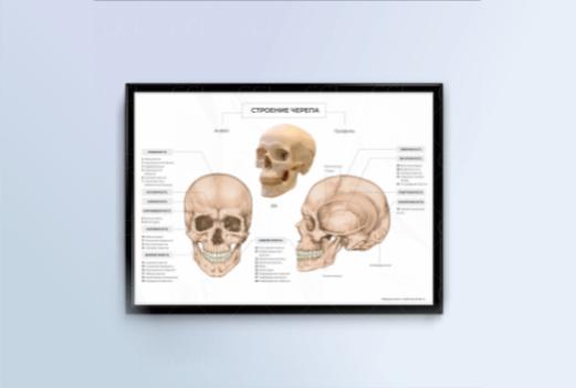 строение черепа анатомия _