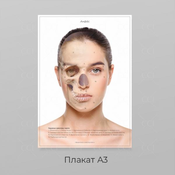 Анатомия лица - плакат А3