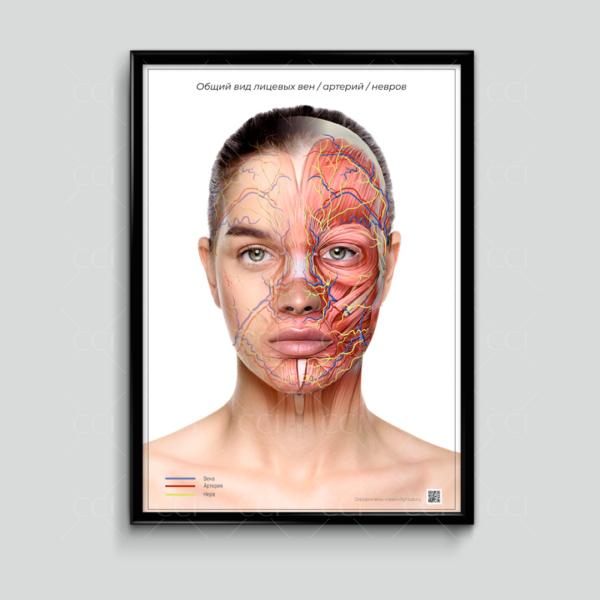 анатомия лица в косметологии